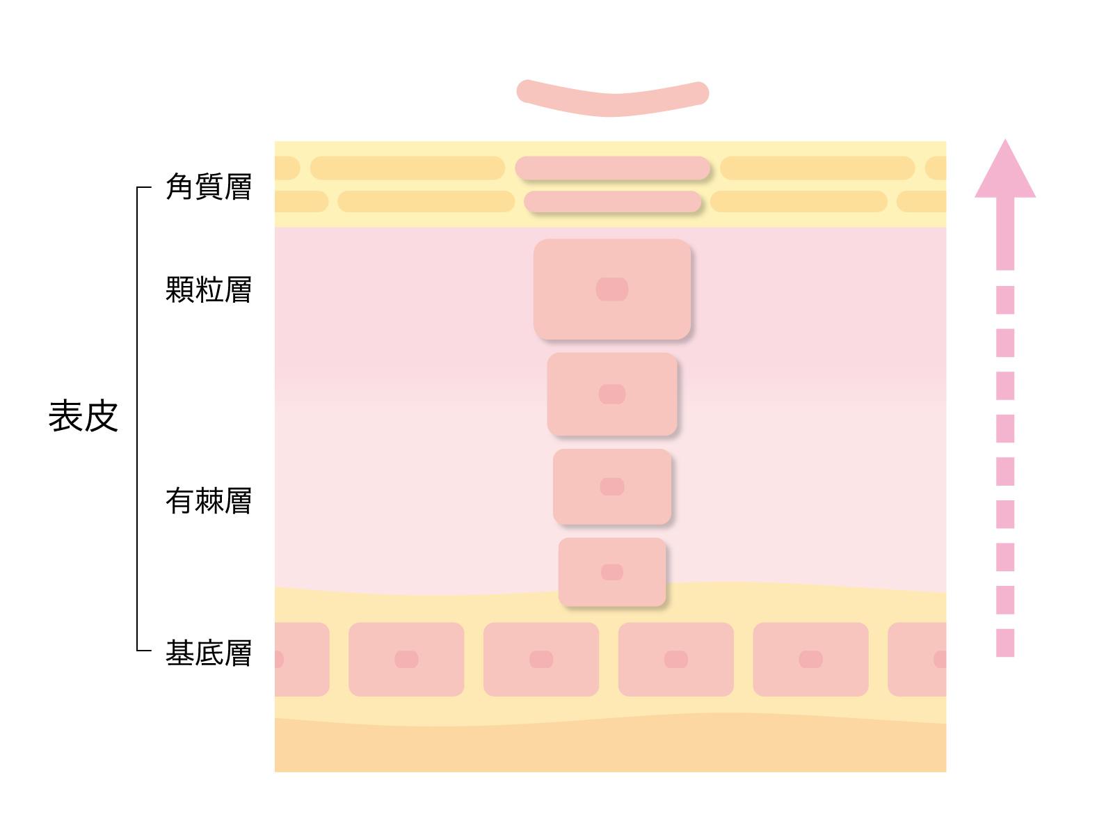 皮膚層のイメージ図