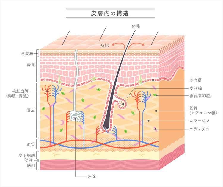 皮膚の構造イラスト