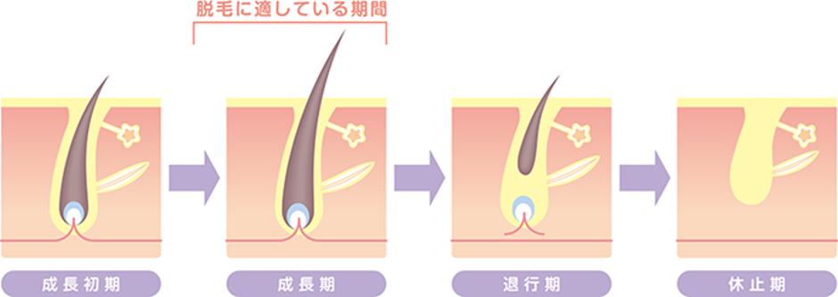 毛周期のイメージイラスト