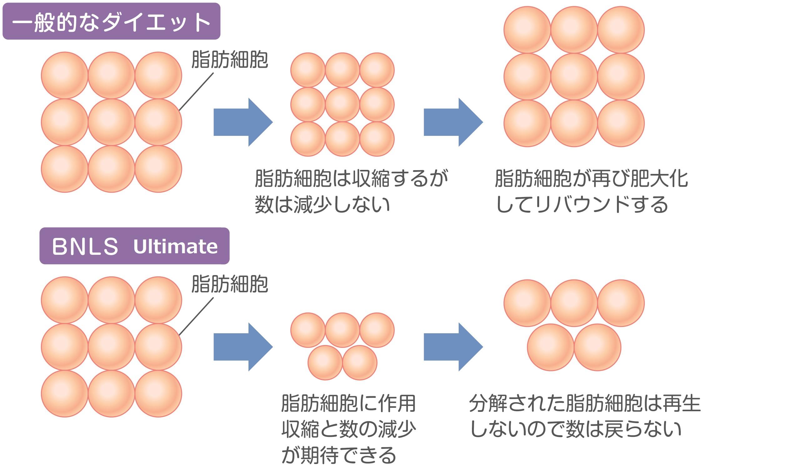 分解された脂肪細胞は再生しない