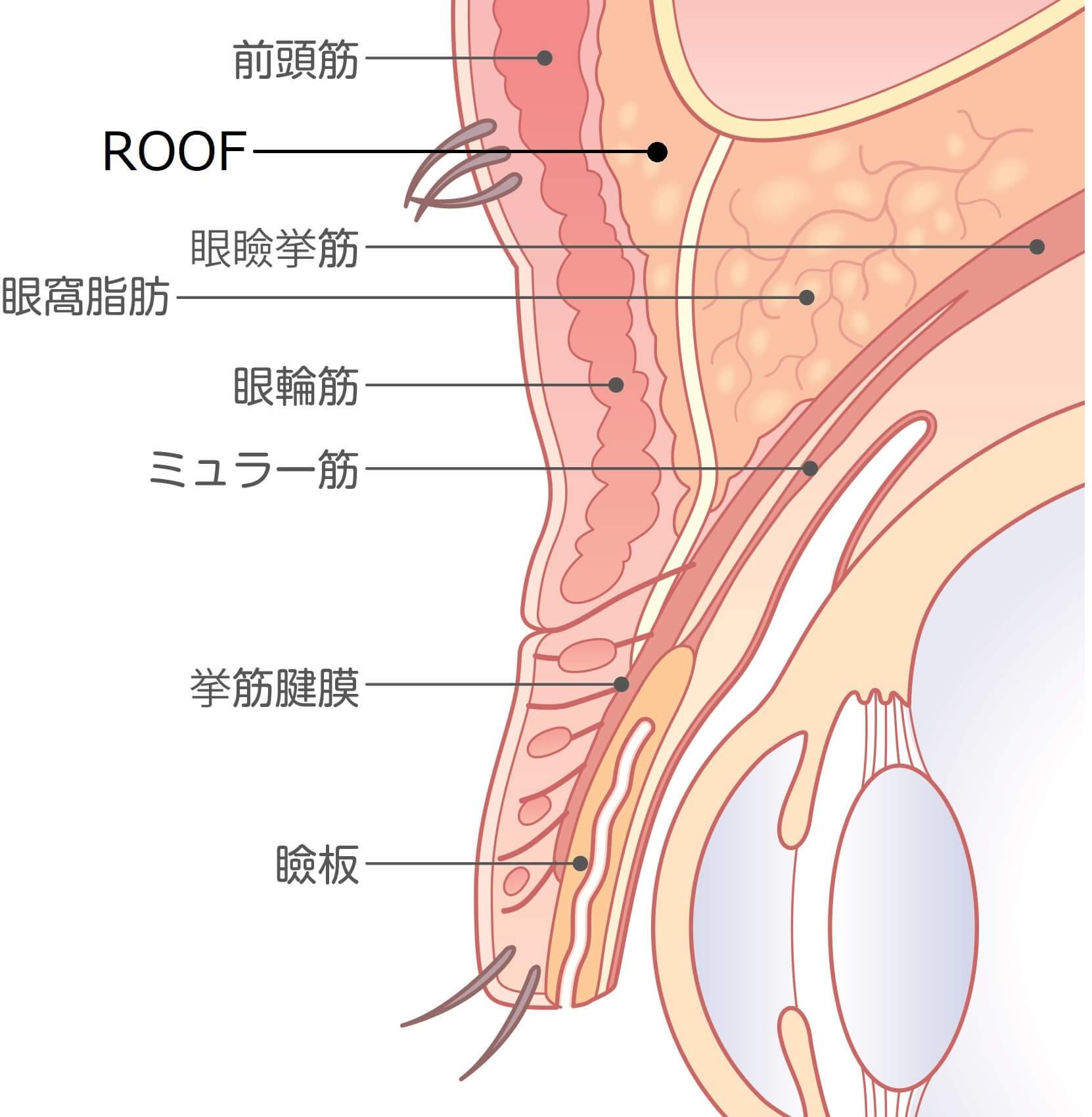 まぶたの皮下組織の断面イラスト