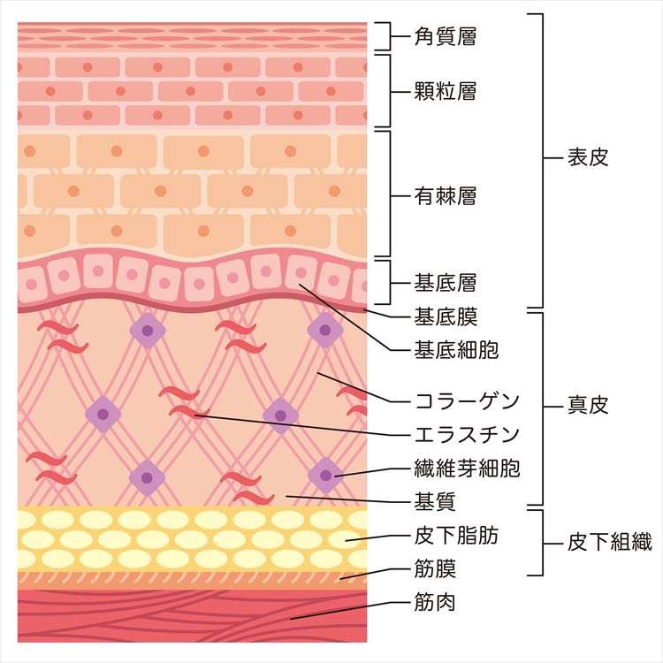 皮膚の内部構造の画像