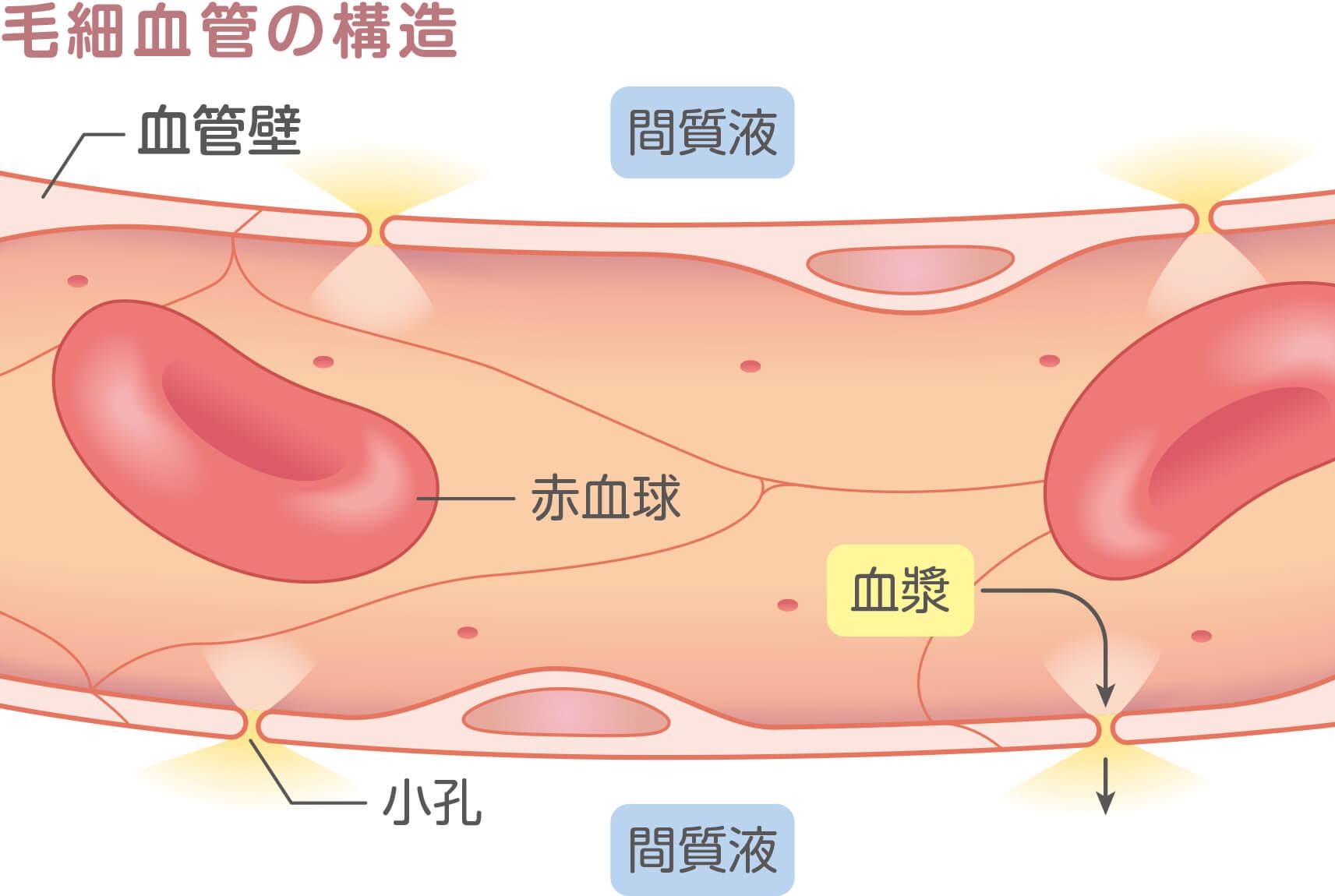毛細血管の構造